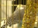 Волнистый попугайчик Все О Домашних Животных