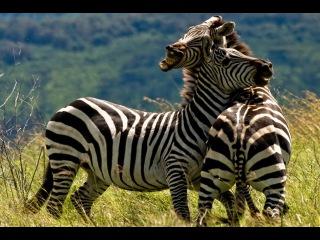 National Geographic Documentary 2014 - ДИКИЙ ЗАПАД | national geographic hd bbc documentary animal