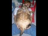 Упитанные, но всё равно няшные  или котам всё к лицу(fattest cats)