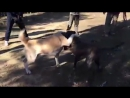 Собачьи бои канарский дог vs сао алабай