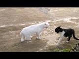 Кот с гоблинской осанкой наезжает на котэ обыкновенного (Прикол) (Животные) (Кош