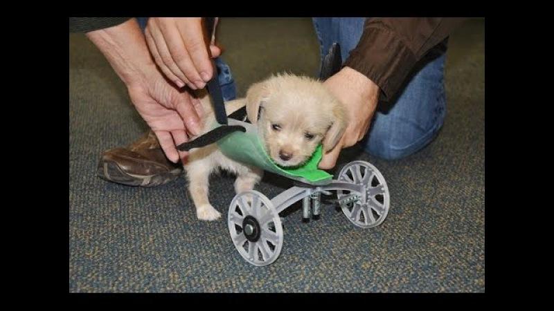 В США для двулапого щенка изготовили инвалидную коляску на 3D-принтере