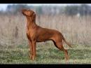 Выжла венгерская легавая, все породы собак, 101 dogs. Введение в собаковедение.