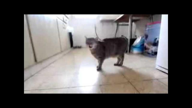 Котики поют Нян-кэт