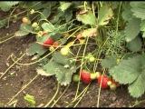 Зеленый сад фильм № 186 от 15.08.2015г. г.Хабаровск (zeleniisad.ru)