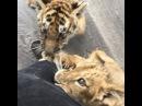 "Black Jaguar-White Tiger on Instagram: ""The Lola Factor: From 0 to 60 in less than 1 second... Lola: De 1 a 100 en menos de un segundo... babylolabjwt icemanbjwt hectorspride…"""