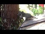 Мать-енот учит лазить по деревьям своего ребёнка