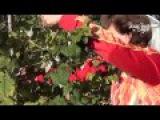 Осенняя  обрезка малины и смородины. Сайт