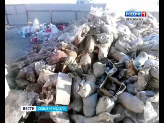 События Недели Большая Мурта задыхается от отходов свинокомплекса