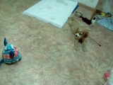 Мой щенок ненавидит Ферби Бум