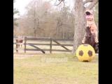 Ничего необычного. Просто динозавр едет верхом на лошади, которая пинает мяч ??#ptencoff