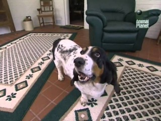 Все о собаках: Бассет-хаунд [Animal Planet]