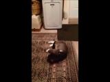 Кот притворился мертвым, когда на него нацепили поводок, что бы выгулять