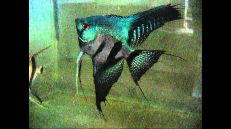 Pterophyllum scalare Pinoy Ghost Angelfish