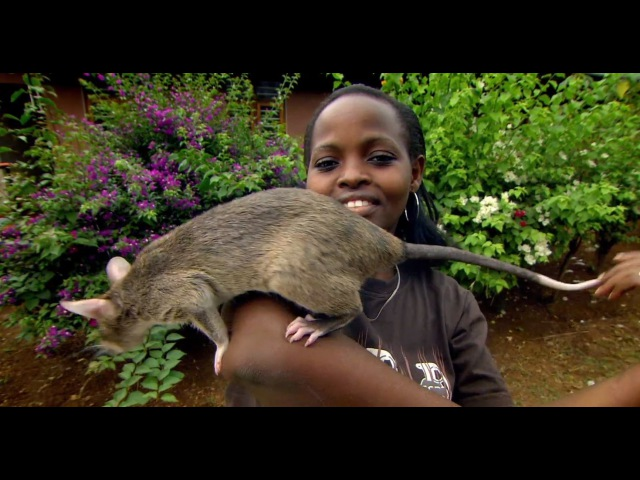 Giant Rats Can Detect Tuberculosis Extraordinary Animals Series 2 Earth