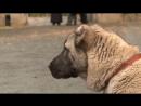 Планета собак  Армянский волкодав Гампр
