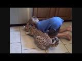 Очень классная кошка ашера играется с ребёнком! Ashera cat plays with a child
