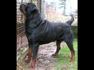 ROTTWEILER BIG GIGANTE Leone Leo Messi Over The Top Roccia Nera