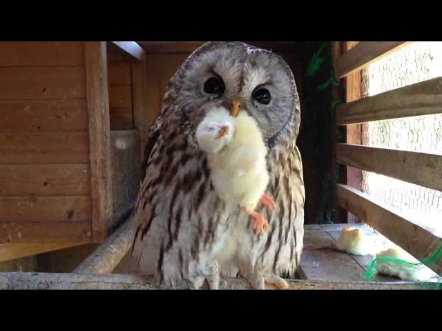 フクロウの可愛い食事風景と鳴き声 /Cute owl meal scenery and cry