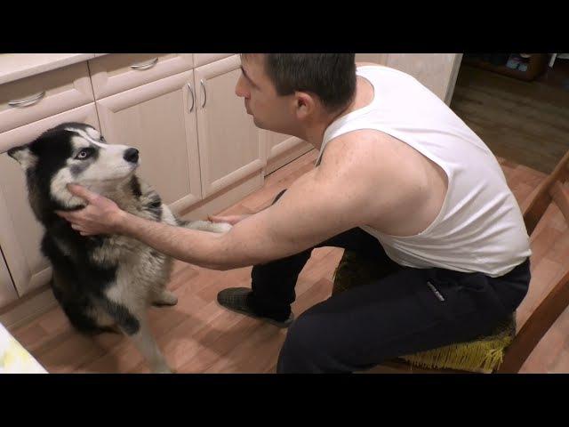 Сибирский Хаски и щекотка в носу ✔