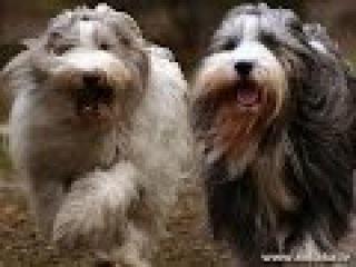 Бородатый (бирдер) колли, все породы собак, 101 dogs. Введение в собаковедение.