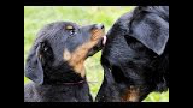 All About Beauceron | Berger de Beauce | Босерон Dog