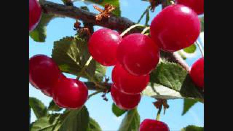 Аркадий Северный Ko: поспели вишни в саду у дяди Вани