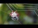 Spiny Orb Weaver Spider Spinning A Web