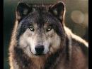 Самое интересное про волков. Топ 15 фактов. Волк против собаки