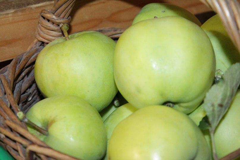 Когда собирать яблоки, в частности Белый налив?