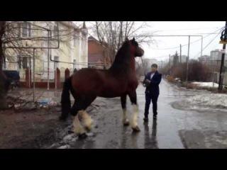 конь цыганский тяжеловоз очень красивой