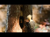 Blond-crested woodpecker / Белохохлый дятел / Celeus flavescens