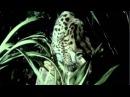 Margay An Endangered Species HD