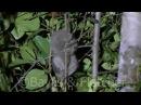 Sunda slow loris / Медленный лори / Nycticebus coucang