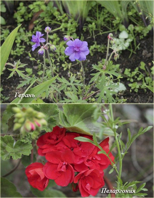 Как сохранить пеларгонию (герань) до весны