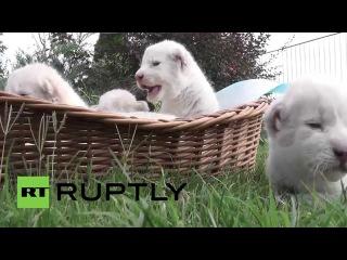Россия: Новорожденные белые лев четверки исследовал в Сафари Тайган.