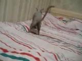 Мистер Патрик (Корниш рекс) прикол с котом ржака