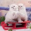 """Сибирские кошки 😺 питомник """"С берегов Невы"""""""