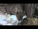 Borzoi and Cheetah are BFFs
