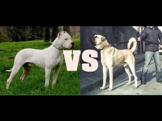 Dogo Argentino VS Turkish Kangal