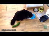 These cats don't stay as cool as their stealthy cucumber stalkers