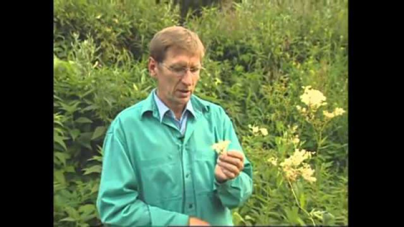 Лекарственные травы.Лобазник