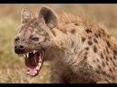 Гиена - царица хищников National Geographic - документальный фильм.