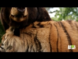 A Bear, Lion and Tiger Form an Inseparable Trio
