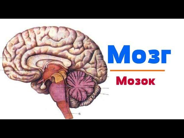 Видео-урок по анатомии. Мозг dbltj-ehjr gj fyfnjvbb. vjpu