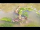 Змея убивает крупного сома