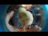 2015.05.20 _ Цыплёнок. Мастер класс по плетению деревьев из бисера!