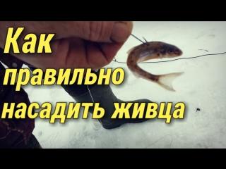 Как правильно насадить живца на крючок.Зимняя рыбалка