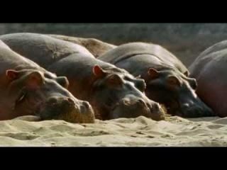 Ребятам о Зверятах - Бегемоты (1 Сезон 1 Серия от ASHPIDYTU в 2006)