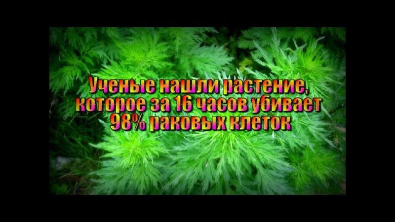 Растение которое за 16 часов убивает 98% раковых клеток